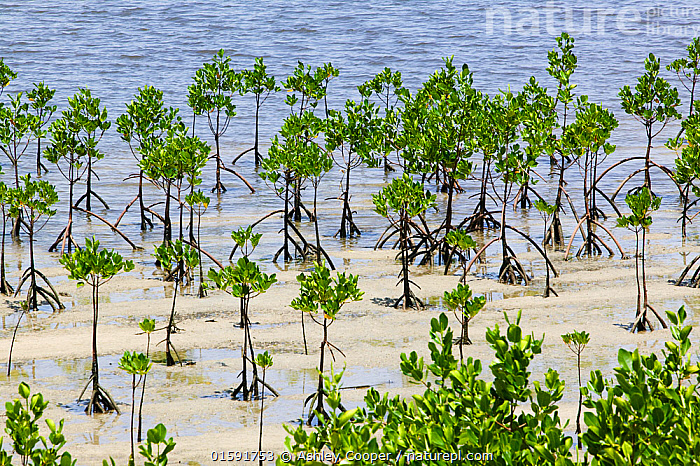 Mangrove swamp on Fiji, March 2007.  ,  Fiji,Mangrove,Mangrove swamp,swamp,mud,muddy,estuary,estuarine,coast,coastal protection,habitat,spawning grounds,green,leaves,endangered,roots,tidal,intertidal,pacific,,,,,, catalogue11  ,  Ashley Cooper