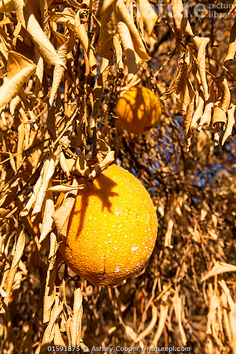 Dying Orange trees that no longer have water to irrigate them during severe drought, near Bakersfield, California, USA, October 2014  ,  USA,US,America,California,desert,brown,drought,climate change,global warming,crop,farm,irrigation,Central Valley,San Joaquin,leaf,fruit,orange,oranges,orange grove,orange tree,dead,dying,dessicated,dried up,abandoned,sky,blue,heat,sunlight crops,agriculture,fruit,farming North America,,,,,  ,  Ashley Cooper