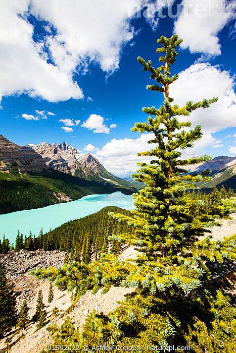 Peyto Lake, Banff National Park, Canadian Rockies, Alberta, August 2012.  ,  rock,overlook,viewpoint,vista,mountain,mountains,Rockies,Rocky Mountains,lake,Peyto Lake,forest,tree,blue,colour,rock flour,glaciation,glacier,serene,beautiful,tranquil,tranquility,Canada,Alberta,national park,cliff,enclosed,outdoors,chill,scenery,color,colorful,Boreal forest,tourism,tourist attraction,stunning,,American,North America,USA,Western USA,Canada,Alberta,Freshwater,Lake,Water,Rocky Mountains,American,United States of America,  ,  Ashley Cooper