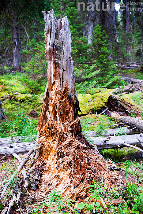 Rotting tree stump in forest in Johnsons Canyon in the Banff National Park, Canadian Rockies, Canada, August 2012.  ,  mountain,mountains,Rockies,Rocky Mountains,forest,tree,Canada,Alberta,national park,Johnsons Canyon,tree stump stump,rotten,rotting,decay,recycling,nutrients,log,fallen,forest floor,,American,North America,USA,Western USA,Canada,Alberta,Rocky Mountains,American,United States of America,  ,  Ashley Cooper