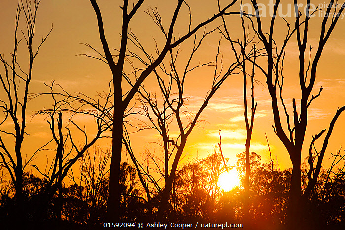 Red Gum trees are iconic Australian trees that grow along the banks of the Murray River. They rely on a regular flood cycle to survive. The unprecedented drought of the last 15 years has lead to low river levels on the Murray River. This and upstream dams taking water out for irrigation has vastly reduced the seasonal flooding. As a result 75% of the Red gums are either dead or dying. Climate change will only increase the likelihood that these trees and the wild life that they support are left increasingly vulnerable.  ,  Victoria,Australia,climate change,global warming,drought,dry,dried up,water supply,water levels,water shortage,water security,tree,dead,dying,Red Gum,Murray River,Echuca,skeleton,sunrise,dawn,sun,silhouette,,,Australasia,Australia,Drought,  ,  Ashley Cooper