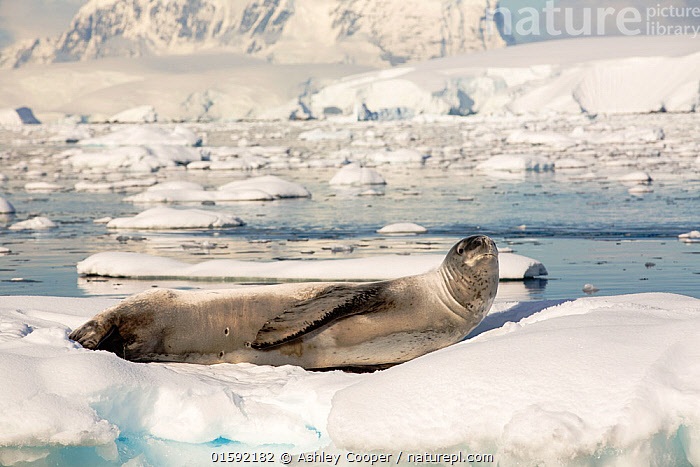 Leopard seal (Hydrurga leptonyx) hauled out on an iceberg in the Drygalski Fjord, Antarctic Peninsula.  ,  Austral,South Atlantic,Antarctic,southern Ocean,wildlife,pinniped,seal,Leopard Seal,snow,resting,hauled out,fur,coat,Drygalski Fjord ice,sea ice,iceberg,rest,glacial,Hydrurga leptonyx,predator,hunter,large,glacier,glacial retreat,mountain,mountain range,stunning,dramatic,landcape,awesome,ice flow,Antarctic Peninsular,warming,climate change,global warming,,Animal,Wildlife,Vertebrate,Mammal,Carnivore,True seal,Leopard Seal,Animalia,Animal,Wildlife,Vertebrate,Mammalia,Mammal,Carnivora,Carnivore,Phocidae,True seal,Pinnipeds,pinnipedia,Hydrurga,Hydrurga leptonyx,Leopard Seal,Phoca leptonyx,Antarctica,Antarctic,Polar,Marine  ,  Ashley Cooper