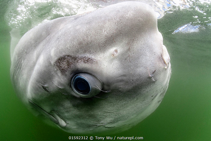Ocean sunfish (Mola mola) close up whilst relaxing at waters surface, South Africa, Atlantic Ocean.  ,  Animal,Wildlife,Vertebrate,Ray-finned fish,Plectognathi,Ocean sunfish,Animalia,Animal,Wildlife,Vertebrate,Actinopterygii,Ray-finned fish,Osteichthyes,Bony fish,Fish,Tetraodontiformes,Plectognathi,Molidae,Mola,Mola mola,Ocean sunfish,Giant sunfish,Moonfish,Tetraodon mola,Diodon mola,Orthragoriscus fasciatus,Resting,Rest,Bizarre,Weird,Africa,Southern Africa,South Africa,Portrait,Animal Eye,Eyes,Ocean,Atlantic Ocean,Marine,Underwater,Water,Saltwater,South African,Marine,, catalogue11  ,  Tony Wu