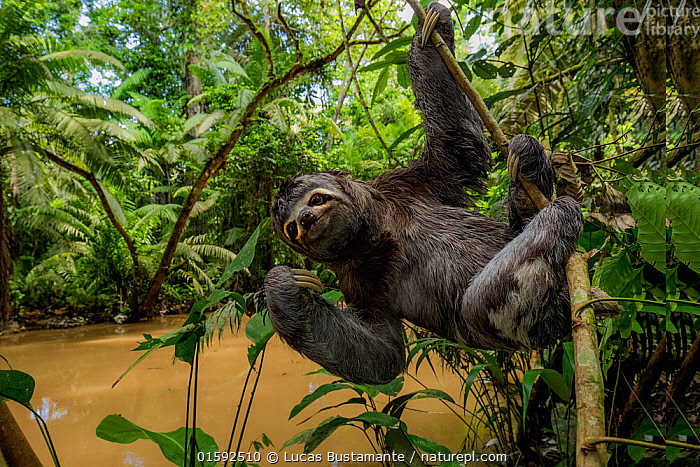 Brown throated three toed sloth (Bradypus variegatus) hanging from branch, Yasuni National Park, Orellana, Ecuador.  ,  Animal,Wildlife,Vertebrate,Mammal,Sloth,Three toed sloths,Bolivian Three-toed Sloth,Animalia,Animal,Wildlife,Vertebrate,Mammalia,Mammal,Pilosa,Bradypodidae,Sloth,Bradypus,Three toed sloths,Bradypus variegatus,Bolivian Three-toed Sloth,Brown-throated Sloth,Brown-throated Three-toed Sloth,Bradypus infumatus,Bradypus rifuscatus,Bradypus speculiger,Hanging,Latin America,South America,Ecuador,Rainforest,Tropical rainforest,Water,Habitat,Animal Behaviour,Reserve,Forest,Protected area,National Park,South American National Parks,Ecuadorian National Parks,Yasuni National Park,,, catalogue11  ,  Lucas Bustamante