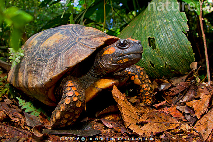Yellow footed tortoise (Chelonoidis denticulata) portrait, Yasuni National Park, Orellana, Ecuador. Vulnerable species., Animal,Wildlife,Vertebrate,Reptile,Testitudine,Tortoises,Yellow foot tortoise,Animalia,Animal,Wildlife,Vertebrate,Reptilia,Reptile,Chelonii,Testitudine,Testudinidae,Tortoises,Turtle,Chelonoidis,Chelonoidis denticulata,Yellow foot tortoise,Geochelone denticulata,Testudo tabulata,Latin America,South America,Ecuador,Portrait,Rainforest,Tropical rainforest,Reserve,Forest,Protected area,National Park,South American National Parks,Ecuadorian National Parks,Yasuni National Park,Endangered,Endangered species,Vulnerable, Lucas Bustamante