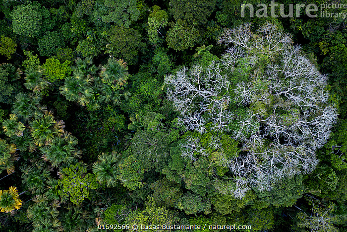 Nature Picture Library - Aerial view of Kapok / Ceiba tree