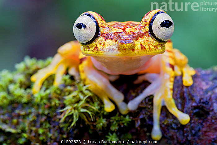 Imbabura tree frog (Hypsiboas picturatus) portrait, Canande, Esmeraldas, Ecuador.  ,  Animal,Wildlife,Vertebrate,Frog,Tree frog,Imbabura treefrog,Animalia,Animal,Wildlife,Vertebrate,Amphibia,Anura,Frog,Hylidae,Tree frog,Hypsiboas,Hypsiboas picturatus,Imbabura treefrog,Latin America,South America,Ecuador,Portrait,Animal Eye,Eyes,Rainforest,Tropical rainforest,Forest,Biodiversity hotspot,Direct Gaze,Amphibian,,, catalogue11  ,  Lucas Bustamante
