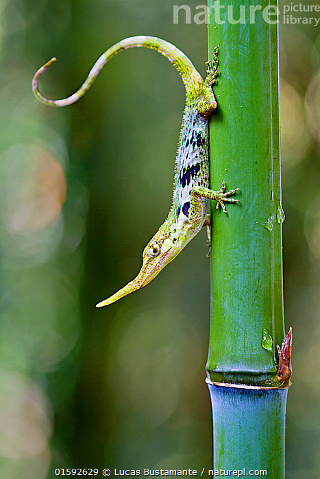 Pinocchio lizard (Anolis proboscis) male on stem, Mindo, Pichincha, Ecuador, Endangered species.  ,  Animal,Wildlife,Vertebrate,Reptile,Squamate,Anolis Lizard,Proboscis anole,Pinocchio lizard,Lizard,Animalia,Animal,Wildlife,Vertebrate,Reptilia,Reptile,Squamata,Squamate,Polychrotidae,Anolis Lizard,Anole,Anolis,Anolis lizard,Latin America,South America,Ecuador,Profile,Vertical,Side View,Female animal,Montane forest,Andes,Forest,Cloud forest,Biodiversity hotspot,Biodiversity hotspots,Anolis proboscis,Proboscis anole,Pinocchio lizard,Ecuadorian horned anole,Lizard,Endangered species,Threatened,Endangered,, catalogue11  ,  Lucas Bustamante