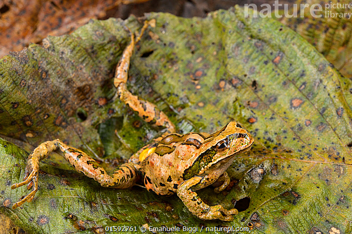 Abra Acanacu marsupial frog (Gastrotheca excubitor) dying due to heart attack caused by Chytrid fungus (Batrachochytrium dendrobatidis) Peru.  ,  Animal,Wildlife,Vertebrate,Frog,Marsupial frog,Amphibian chytrid fungus,Fungus,Fungi,Animalia,Animal,Wildlife,Vertebrate,Amphibia,Anura,Frog,Hemiphractidae,Gastrotheca,Marsupial frog,Disease,Ill,Illnesses,Poorly,Sick,Sickness,Latin America,South America,Peru,Conservation,Death,Conservation issues,Bookplate,Chytridomycota,Chytridomycetes,Rhyzophidiales,Batrachochytrium,Batrachochytrium dendrobatidis,Amphibian chytrid fungus,Chytridiomycosis,Bd,Diseases,Amphibian,Gastrotheca excubitor,  ,  Emanuele Biggi