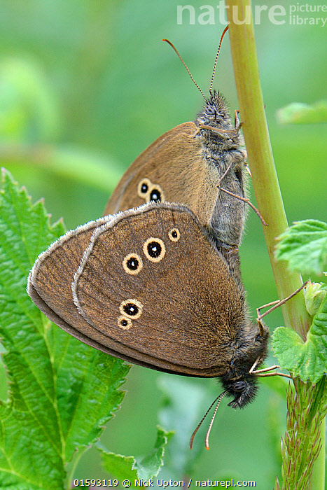 Ringlet (Aphantopus hyperantus) pair mating, Wiltshire, UK, June., Animal,Wildlife,Arthropod,Insect,Brushfooted butterfly,Satyrine,Ringlet,Animalia,Animal,Wildlife,Hexapoda,Arthropod,Invertebrate,Hexapod,Arthropoda,Insecta,Insect,Lepidoptera,Lepidopterans,Nymphalidae,Brushfooted butterfly,Fourfooted butterfly,Nymphalid,Butterfly,Papilionoidea,Aphantopus,Satyrine,Satyrid,Brown,Satyrinae,Aphantopus hyperantus,Ringlet,Papilio hyperantus,Two,Europe,Western Europe,UK,Great Britain,England,Wiltshire,Profile,Vertical,Side View,Animal Behaviour,Mating Behaviour,Copulation,Male female pair,, Nick Upton