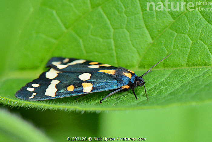 Scarlet tiger moth (Callimorpha dominula) resting with its wings closed on a Comfrey leaf (Symphytum officinale) Wiltshire, UK, June.  ,  Animal,Wildlife,Arthropod,Insect,Tiger moth,Scarlet tiger moth,Animalia,Animal,Wildlife,Hexapoda,Arthropod,Invertebrate,Hexapod,Arthropoda,Insecta,Insect,Lepidoptera,Lepidopterans,Arctiidae,Tiger moth,Arctiid moth,Erebidae,Moth,Noctuid moth,Noctuid,Owlet moth,Noctuoidea,Callimorpha,Callimorpha dominula,Scarlet tiger moth,Phalaena dominula,Panaxia dominula,Resting,Rest,Pattern,Spotted,Europe,Western Europe,UK,Great Britain,England,Wiltshire,  ,  Nick Upton