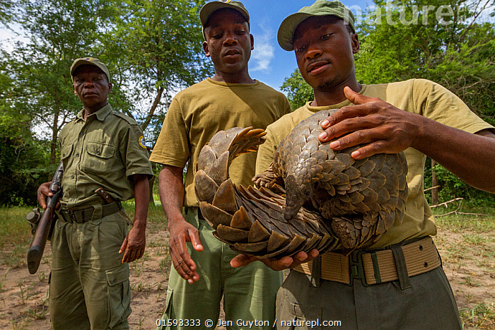 Park ranger holding a Cape pangolin / Temminck's ground pangolin  (Smutsia temminckii), rescued from poachers. This picture was taken shortly before freeing the pangolin. Gorongosa National Park, Mozambique, Animal,Wildlife,Vertebrate,Mammal,Pangolin,Pangolins,Cape Pangolin,Animalia,Animal,Wildlife,Vertebrate,Mammalia,Mammal,Pholidota,Pangolin,Manidae,Pangolins,Scaly anteater,Trenggiling,Smutsia,Smutsia temminckii,Cape Pangolin,Ground Pangolin,Scaly Anteater,South African Pangolin,Temminck's Ground Pangolin,Manis temminckii,Africa,Southern Africa,Mozambique,Republic of Mozambique,Female animal,Reserve,Poaching,Wildlife trade,Conservation issues,Protected area,National Park,Wildlife crime,Animal trade,Mozambican,Gorongosa National Park,,, catalogue11, Jen Guyton