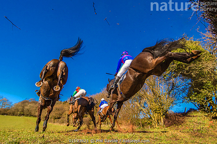 Point-to-Point horse racing, low angle view of racehorses jumping fence, Monmouthshire, Wales, UK. March 2014.  ,  Equus ferus caballus,Equus caballus,Jumping,People,Sports Person,Jockey,Harness Rider,Harness Riders,Jockeys,Group,Europe,Western Europe,UK,Great Britain,Wales,Low Angle View,Animal,Sky,Sport,Sports,Horse Race,Horse Races,Horse Racing,Horses Races,Domestic animal,Domestic Horse,Thoroughbred,Domesticated,Monmouthshire,Equus ferus caballus,Equus caballus,Horse,Moving,Blue sky,Mammal,Movement,  ,  Phil Savoie
