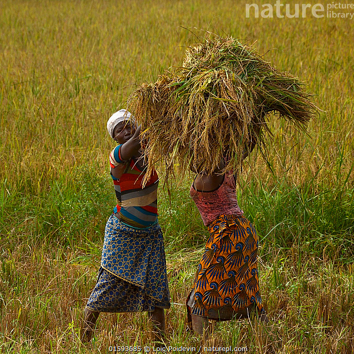 Women harvesting rice, Burkina Faso, December 2017  ,  People,Woman,Africa,West Africa,Burkina Faso,Plant,Crops,Produce,Cultivated,Food,Grain,Grains,Rice,Cultivated Land,Farmland,Local people,West African,,, catalogue11  ,  Loic Poidevin