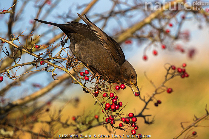 Blackbird (Turdus merula) feeding on Hawthorn berries (Crataegus monogyna), Caerlaverock Wildfowl and Wetland Trust Reserve, Dumfries and Galloway, Scotland, UK, November.  ,  Angiosperm,Angiospermae,Animal,Animalia,Autumn,Aves,Berry,Bird,Birds,Black thrush,Blackbird,Common blackbird,Common hawthorn tree,Crataegus,Crataegus curvisepala,Crataegus monogyna,Crataegus oxyacantha,Dicot,Dicotyledon,Dumfries and Galloway,Eurasian backbird,Europe,Feeding,Flowering plant,Fruit,Great Britain,Hawthorn,Magnoliopsida,Oneplant hawthorn,Passeriformes,Passerine,Plant,plant plant,Plantae,Protected area,Reserve,Rosaceae,Rosales,Rosanae,Rosid,Scotland,Single planted hawthorn,Singleplant hawthorn,Songbird,Spermatophyte,Spermatophytina,Thrush,Tracheophyta,True thrush,Turdidae,Turdus,Turdus merula,UK,Vascular plant,Vertebrate,Western Europe,Wildlife  ,  Ann  & Steve Toon