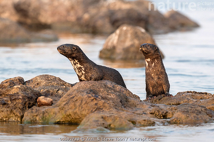 Spotted necked otters (Hydrictis maculicollis), Chobe River, Botswana, September., Animal,Wildlife,Vertebrate,Mammal,Carnivore,Mustelid,Otter,Speckle-throated Otter,Animalia,Animal,Wildlife,Vertebrate,Mammalia,Mammal,Carnivora,Carnivore,Mustelidae,Mustelid,Hydrictis,Otter,Hydrictis maculicollis,Speckle-throated Otter,Spot-necked Otter,Spotted-necked Otter,Hydrictis maculicollis kivuana,Hydrictis maculicollis maculicollis,Hydrictis maculicollis matschiei,Two,Africa,Southern Africa,Botswana,Flowing Water,River,Freshwater,Water,Chobe River,, Ann  & Steve Toon