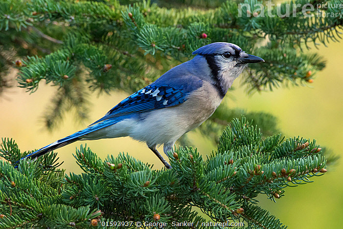 Blue Jay (Cyanocitta cristata). Acadia National Park, Maine, USA. May., Animal,Wildlife,Vertebrate,Bird,Birds,Songbird,Blue jay,American,Animalia,Animal,Wildlife,Vertebrate,Aves,Bird,Birds,Passeriformes,Songbird,Passerine,Corvidae,Corvid,Cyanocitta,Cyanocitta cristata,Blue jay,Corvus cristatus,North America,USA,Eastern USA,New England,Maine,Profile,Side View,Reserve,Protected area,National Park,American,United States of America,, George  Sanker