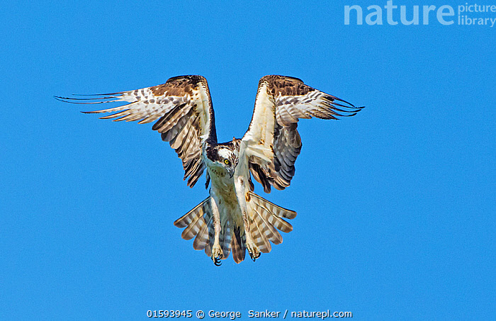 Osprey (Pandion haliaetus+ hovering over the Atlantic Ocean, looking for fish. Acadia National Park, Maine, USA., Animal,Wildlife,Vertebrate,Bird,Birds,Osprey,American,Animalia,Animal,Wildlife,Vertebrate,Aves,Bird,Birds,Accipitriformes,Pandionidae,Osprey,Bird of prey,Raptor,Pandion,Pandion haliaetus,Flying,North America,USA,Eastern USA,New England,Maine,Wing,Sky,Reserve,Protected area,National Park,Blue sky,American,United States of America,, George  Sanker