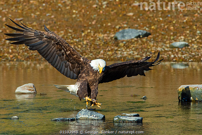 Bald eagle (Haliaeetus leucocephalus) about to catch an Alewife (Alosa pseudoharengus) in Somes Sound, Acadia National Park, Maine, USA. June., Animal,Wildlife,Vertebrate,Ray-finned fish,Shads,Alewife,Bird,Birds,Sea eagle,American bald eagle,American,Animalia,Animal,Wildlife,Vertebrate,Actinopterygii,Ray-finned fish,Osteichthyes,Bony fish,Fish,Clupeiformes,Clupeidae,Alosa,Shads,River herrings,Alosa pseudoharengus,Alewife,Anadromous alewives,Bigeye herring,Branch herring,Grayback,greyback,Kyak,Sawbelly,Clupea pseudoharengus,Clupea parvula,Meletta venosa,Aves,Bird,Birds,Accipitriformes,Accipitridae,Haliaeetus,Sea eagle,Eagle,Bird of prey,Raptor,Haliaeetus leucocephalus,American bald eagle,American eagle,White headed sea eagle,Bald eagle,North America,USA,Eastern USA,New England,Maine,Animal Behaviour,Predation,Hunting,Reserve,Protected area,National Park,American,United States of America,, George  Sanker