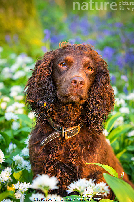 Chocolate working cocker spaniel in wild garlic (Ransoms) and Bluebells, Wiltshire, UK  ,  Canis familiaris,Europe,Western Europe,UK,Great Britain,England,Animal,Plant,Flower,Outdoors,Spring,Domestic animal,Pet,Domestic Dog,Gun dog,Medium dog,Cocker Spaniel,Domesticated,Canis familiaris,Dog,Spaniel,Mammal,  ,  TJ Rich