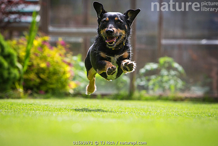 Terrier mix rescue dog, leaping in garden, Cotswolds, UK  ,  Canis familiaris,Jumping,Running,Agility,Agile,Happiness,Joy,Europe,Western Europe,UK,Great Britain,England,Animal,Outdoors,Domestic animal,Pet,Domestic Dog,Terrier,Domesticated,Canis familiaris,Dog,Moving,Mammal,Movement,  ,  TJ Rich