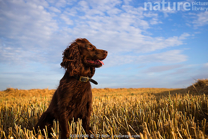 Chocolate working cocker spaniel sitting among field stubble with blue sky and clouds, Wiltshire, UK  ,  Canis familiaris,Europe,Western Europe,UK,Great Britain,England,Animal,Sky,Cloud,Outdoors,Domestic animal,Pet,Domestic Dog,Gun dog,Medium dog,Cocker Spaniel,Domesticated,Canis familiaris,Dog,Spaniel,Mammal,  ,  TJ Rich