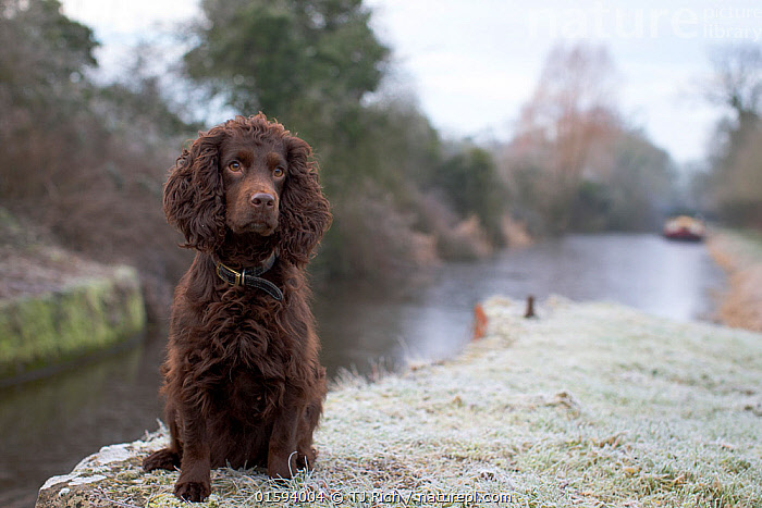 Chocolate working cocker spaniel sitting next to Kennet and Avon Canal in winter, Wiltshire, UK  ,  Canis familiaris,Temperature,Cold,Europe,Western Europe,UK,Great Britain,England,Portrait,Animal,Canal,Weather,Frost,Outdoors,Winter,Freshwater,Water,Cold Weather,Domestic animal,Pet,Domestic Dog,Gun dog,Medium dog,Cocker Spaniel,Domesticated,Canis familiaris,Dog,Spaniel,Mammal,  ,  TJ Rich
