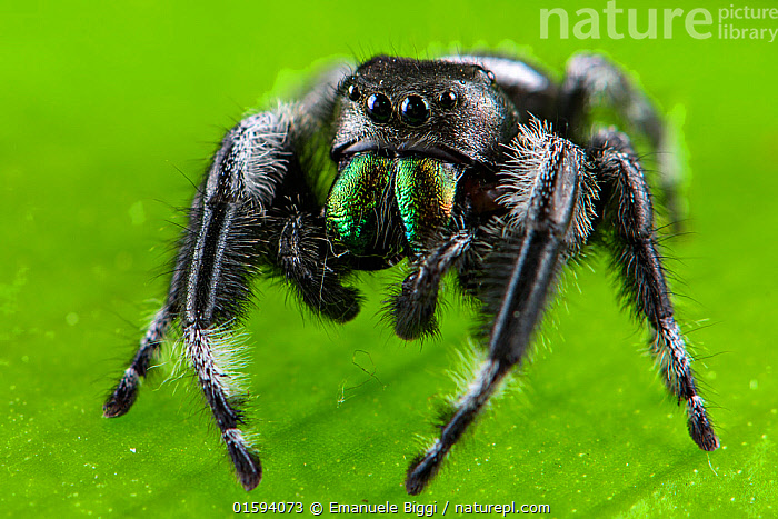 Regal jumping spider (Phidippus regius) captive male with iridescent fangs. Italy.  ,  Animal,Wildlife,Arthropod,Arachnid,Spider,Jumping spider,Regal jumping spider,Animalia,Animal,Wildlife,Chelicerata,Arthropod,Chelicerate,Arthropoda,Arachnida,Arachnid,Aranae,Spider,Salticidae,Jumping spider,Phidippus,Phidippus regius,Regal jumping spider,Phidippus tullgreni,Phidippus miniatus,Phidippus audax,Colour,Green,Europe,Southern Europe,Italy,Fang,Fangs,Iridescent,Iridescence,Invertebrate,,, catalogue11  ,  Emanuele Biggi