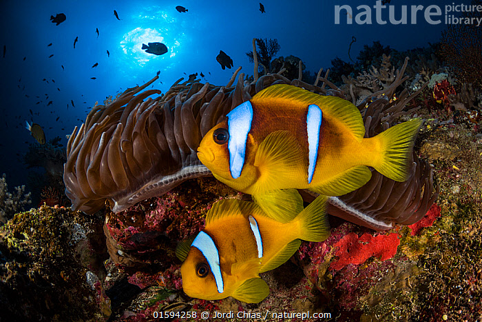 Red Sea anemonefish (Amphiprion bicinctus) in their home, a Sea anemone (Heteractis magnifica), on a coral reef. Big Brother island, Red Sea. Egypt.  ,  Animal,Wildlife,Cnidarian,Anthrozoan,Sea anemone,Magnificent sea anemone,Vertebrate,Ray-finned fish,Percomorphi,Damselfish,Clownfish,Two bar anemonefish,Orange fin anemonefish,Animalia,Animal,Wildlife,Cnidaria,Cnidarian,Coelentrerata,Anthozoa,Anthrozoan,Actiniaria,Sea anemone,Stichodactylidae,Heteractis,Heteractis magnifica,Magnificent sea anemone,Radianthus mabrucki,Radianthus ritteri,Vertebrate,Actinopterygii,Ray-finned fish,Osteichthyes,Bony fish,Fish,Perciformes,Percomorphi,Acanthopteri,Pomacentridae,Damselfish,Dameselfishes,Amphiprion,Clownfish,Anemonefish,Clown fish,Anenome fish,Amphiprion bicinctus,Two bar anemonefish,Two-banded anemonefish,Twoband anemonefish,Amphiprion chrysopterus,Orange fin anemonefish,Symbiotic Relationship,Two,Africa,North Africa,Northern Africa,Egypt,Animal Home,Tropical,Reef,Reefs,Coral Reef,Coral Reefs,Red Sea,Marine,Underwater,Water,Animal Behaviour,Saltwater,Sea,Invertebrate,Invertebrates,Marine,, catalogue11  ,  Jordi Chias