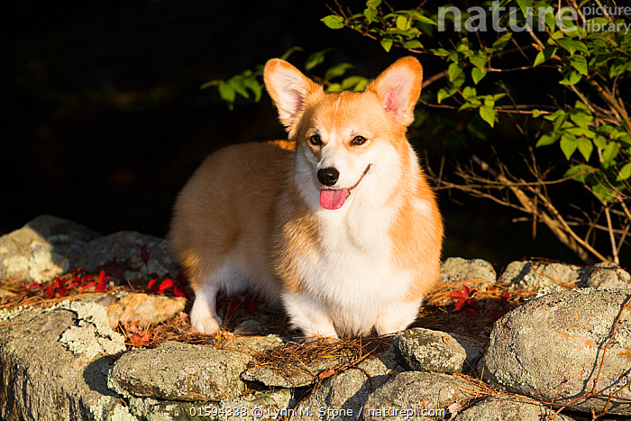 Corgi in autumn on stone wall, Topsmead State Forest, Connecticut, USA.  ,  Canis familiaris,American,North America,USA,Eastern USA,New England,Connecticut,Portrait,Animal,Outdoors,Autumn,Domestic animal,Pet,Domestic Dog,Pastoral Dog,Medium dog,Pembroke Welsh Corgi,Domesticated,Canis familiaris,Dog,American,Mammal,United States of America,  ,  Lynn M. Stone