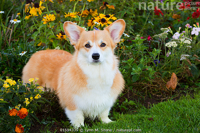 Corgi in autumn flower garden, Topsmead State Forest, Connecticut, October.  ,  Canis familiaris,American,North America,USA,Eastern USA,New England,Connecticut,Animal,Plant,Flower,Outdoors,Domestic animal,Pet,Domestic Dog,Pastoral Dog,Medium dog,Pembroke Welsh Corgi,Domesticated,Canis familiaris,Dog,American,Mammal,United States of America,  ,  Lynn M. Stone