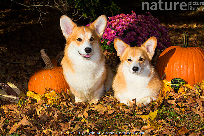 Corgis with pumpkins, gourds in leaves, Connecticut, USA.  ,  Corgi,,Canis familiaris,American,Cute,Adorable,Two,Halloween,North America,USA,Eastern USA,New England,Connecticut,Animal,Outdoors,Autumn,Domestic animal,Pet,Domestic Dog,Pastoral Dog,Medium dog,Pembroke Welsh Corgi,Domesticated,Canis familiaris,Dog,American,Mammal,United States of America,  ,  Lynn M. Stone