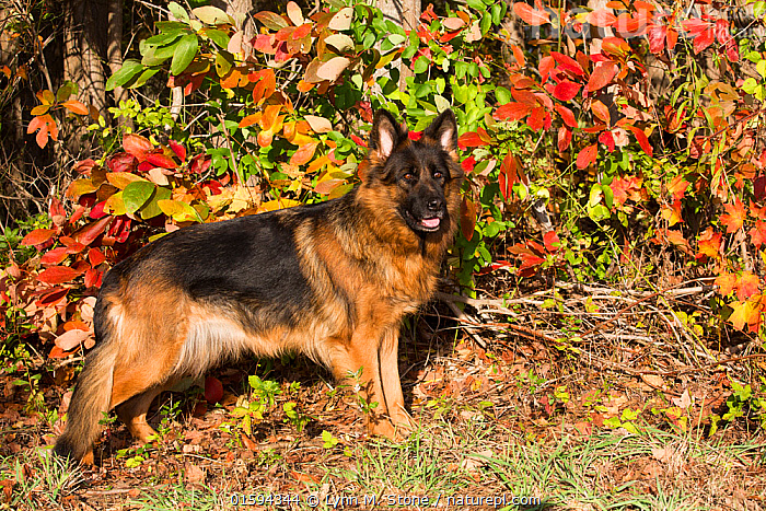 German shepherd dog (long hair variety) by autumn leaves, Connecticut, USA., Canis familiaris,American,North America,USA,Eastern USA,New England,Connecticut,Animal,Outdoors,Autumn,Domestic animal,Pet,Domestic Dog,Pastoral Dog,Large dog,German Shepherd Dog,Domesticated,Canis familiaris,Dog,American,Mammal,United States of America,, Lynn M. Stone