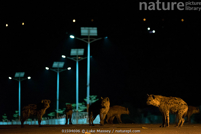 Spotted hyenas (Crocuta crocuta) in urban setting at night, Harar, Ethiopia, Animal,Wildlife,Vertebrate,Mammal,Carnivore,Hyaena,Spotted hyaenas,Spotted hyaena,Animalia,Animal,Wildlife,Vertebrate,Mammalia,Mammal,Carnivora,Carnivore,Hyaenidae,Hyaena,Hyena,Crocuta,Spotted hyaenas,Crocuta crocuta,Spotted hyaena,Crocuta capensis,Crocuta cuvieri,Crocuta fisi,Africa,East Africa,Ethiopia,Artifical light,Electric Light,Street Light,Night,Nature,Wild,Interesting,,, catalogue11, Luke Massey