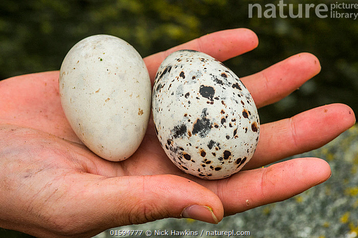 Atlantic puffin (Fratercula arctica) egg on the left, and Razorbill (Alca torda) egg on the right, in a hand, Machias Seal Island, Bay of Fundy, New Brunswick, Canada, May., Animal,Wildlife,Vertebrate,Bird,Birds,Auk,Razorbill,Puffin,Atlantic puffin,Animalia,Animal,Wildlife,Vertebrate,Aves,Bird,Birds,Charadriiformes,Alcidae,Auk,Seabird,Alca,Razorbill,Alca torda,Fratercula,Puffin,Fratercula arctica,Atlantic puffin,Common puffin,Comparison,Juxtaposition,Pattern,Spotted,Speckled,North America,Canada,New Brunswick,Animal Eggs,Egg,Eggs,Hand,Mixed species,Seabird,Seabirds, Nick Hawkins