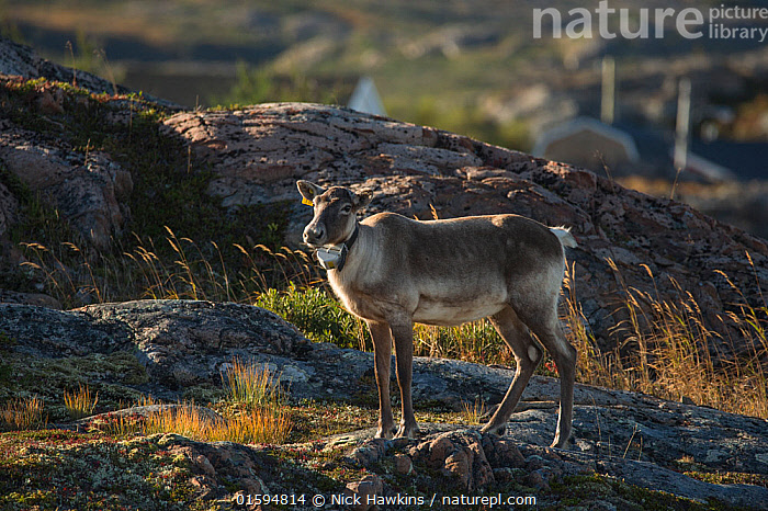 Woodland caribou (Rangifer tarandus-caribou) with radio collat round neck, Fogo Island, Newfoundland, Canada, October, Endangered species., Animal,Wildlife,Vertebrate,Mammal,Deer,Caribou,Animalia,Animal,Wildlife,Vertebrate,Mammalia,Mammal,Artiodactyla,Even-toed ungulates,Cervidae,Deer,True deer,ruminantia,Ruminant,Rangifer,Rangifer tarandus,Caribou,Reindeer,North America,Canada,Newfoundland and Labrador,Wildlife Tracking Tag,Tag,Tagged,, Nick Hawkins