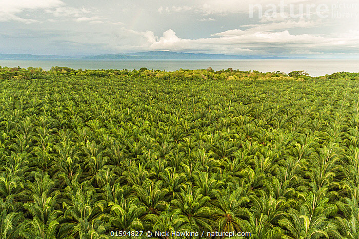 Aerial view of Palm oil (Elaeis sp) plantations along the Pacific coast of Costa Rica, May 2017.  ,  Aerial View,Agriculture,Angiosperm,Angiospermae,Arecaceae,Arecales,Biodiversity hotspot,Central America,Coast,Coastal,Costa Rica,Elaeis,Elevated view,Energy,Environment,Environmental Issues,Farms,Flowering plant,High Angle View,Landscape,Latin America,Lilianae,Magnoliopsida,Monocot,Monocotyledon,Oil palm,Palm,Palm oil,Palm tree,Palmaceae,Palmae,Plant,plant plant,Plantae,Plantations,Power supply,Spermatophyte,Spermatophytina,Tracheophyta,Vascular plant  ,  Nick Hawkins