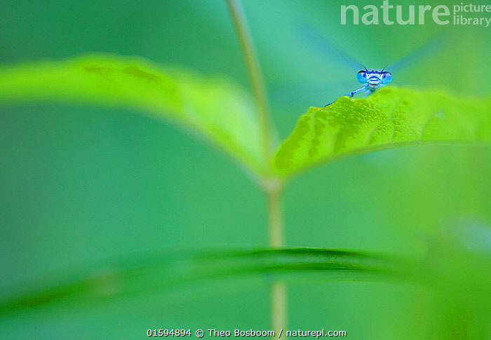 Common bluetail damselfly (Ischnura elegans) on leaf, Millingerwaard, the Netherlands, June., Animal,Wildlife,Arthropod,Insect,Pterygota,Damselfly,Forktail,Blue tailed damselfly,Animalia,Animal,Wildlife,Hexapoda,Arthropod,Invertebrate,Hexapod,Arthropoda,Insecta,Insect,Odonata,Pterygota,Coenagrionidae,Damselfly,Zygoptera,Ischnura,Forktail,Forktail dragonfly,Ischnura elegans,Blue tailed damselfly,Bluetailed damselfly,Common bluetail,Agrion elegans,Resting,Rest,Colour,Blue,Green,Europe,Western Europe,The Netherlands,Holland,Netherlands,Close Up,Portrait,Animal Eye,Eyes,Arty shots,,, catalogue11, Theo  Bosboom