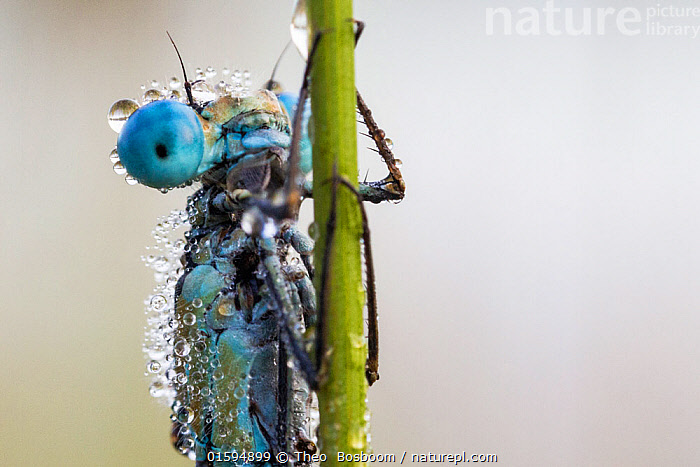 Common blue damselfly (Enallagma cyathigerum) covered in dew in morning and unable to fly,  Hondenven, Tubbergen, the Netherlands, August., Animal,Wildlife,Arthropod,Insect,Pterygota,Damselfly,Bluet,Common blue damselfly,Animalia,Animal,Wildlife,Hexapoda,Arthropod,Invertebrate,Hexapod,Arthropoda,Insecta,Insect,Odonata,Pterygota,Coenagrionidae,Damselfly,Zygoptera,Enallagma,Bluet,Bluet damselfly,Enallagma cyathigerum,Common blue damselfly,Northern bluet,Common bluet,Agrion cyathigerum,Morning,Mornings,Europe,Western Europe,The Netherlands,Holland,Netherlands,Portrait,Dew,Water,Dawn,, Theo  Bosboom