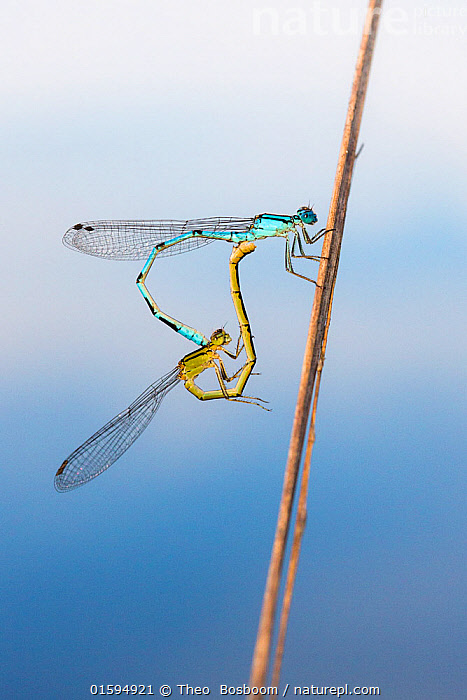 Variable damselfly (Coenagrion pulchellum) pair mating, De Peel National Park, the Netherlands, July.  ,  Animal,Wildlife,Arthropod,Insect,Pterygota,Damselfly,Eurasian bluet,Variable damselfly,Animalia,Animal,Wildlife,Hexapoda,Arthropod,Invertebrate,Hexapod,Arthropoda,Insecta,Insect,Odonata,Pterygota,Coenagrionidae,Damselfly,Zygoptera,Coenagrion,Eurasian bluet,Coenagrion pulchellum,Variable damselfly,Variable bluet,Agrion pulchellum,Two,Europe,Western Europe,The Netherlands,Holland,Netherlands,Animal Behaviour,Mating Behaviour,Copulation,Male female pair,Sexual dimorphism,  ,  Theo  Bosboom