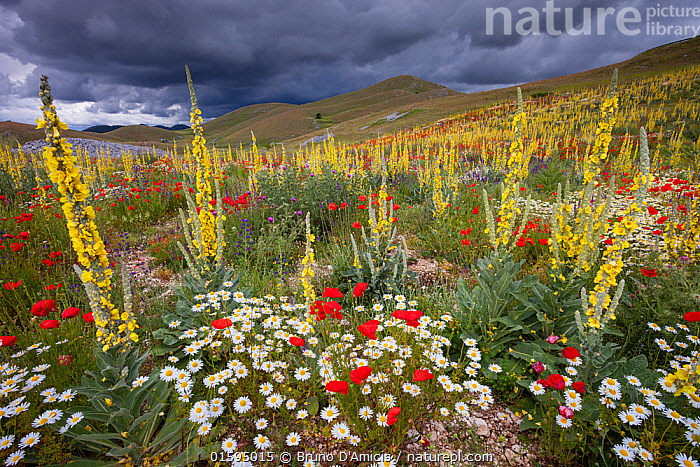 Common mulleins (Verbascum thapsus), Poppies (Papaver rhoeas), and Daisies flowering in mountain pasture. Gran Sasso National Park, Central Apennines, Abruzzo, Italy, June.  ,  Plant,Vascular plant,Flowering plant,Dicot,Poppy,Common poppy,Asterid,Figwort,Mullein,Great mullein,Plantae,Plant,Tracheophyta,Vascular plant,Magnoliopsida,Flowering plant,Angiosperm,Seed plant,Spermatophyte,Spermatophytina,Angiospermae,Ranunculales,Dicot,Dicotyledon,Ranunculanae,Papaveraceae,Fumariaceae,Papaver,Poppy,Stylomecon,Papaver rhoeas,Common poppy,Corn poppy,Field poppy,Red poppy,Lamiales,Asterid,Asteranae,Scrophulariaceae,Figwort,Scrofulaires,Verbascum,Mullein,Verbascum thapsus,Great mullein,Common mullein,Big taper,Velvet dock,Velvet plant,Woolly mullein,Flannel mullein,Aaron's rod,Colour,Red,Yellow,Colourful,Europe,Southern Europe,Italy,Abruzzo,Wildflower,Wildflowers,Flower,Sky,Cloud,Landscape,Grassland,Meadow,Dramatic,Appenines,Gran Sasso,Apennine Mountains,Gran Sasso National Park,Gran Sasso e Monti della Laga National Park,Central Apennines,Apennines,,, catalogue11  ,  Bruno D'Amicis