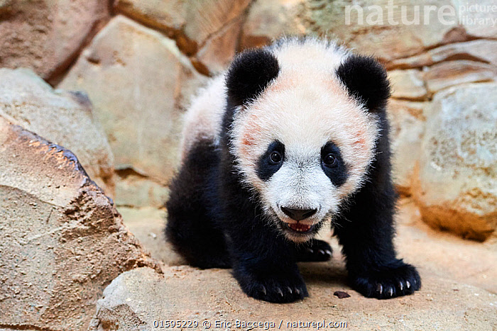 Portrait of Giant panda cub (Ailuropoda melanoleuca) captive. Yuan Meng, first Giant panda ever born in France, now aged 8 months, Beauval Zoo, France, Animal,Wildlife,Vertebrate,Mammal,Carnivore,Bear,Giant panda,Animalia,Animal,Wildlife,Vertebrate,Mammalia,Mammal,Carnivora,Carnivore,Ursidae,Bear,Ailuropoda,Ailuropoda melanoleuca,Giant panda,Cute,Adorable,Portrait,Young Animal,Baby,Baby Mammal,Cub,Zoo,Zoos,Conservation,Captive breeding,Species recovery programs,Wildlife conservation,Endangered species,threatened,Endangered,, catalogue11, Eric Baccega