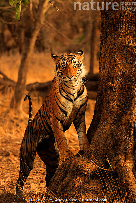 Bengal tiger (Panthera tigris) male 'T91 - Cowboy' at base of tree, Ranthambhore, India, Endangered species.  ,  Animal,Wildlife,Vertebrate,Mammal,Carnivore,Cat,Big cat,Tiger,Animalia,Animal,Wildlife,Vertebrate,Mammalia,Mammal,Carnivora,Carnivore,Felidae,Cat,Panthera,Big cat,Panthera tigris,Tiger,Felis tigris,Tigris striatus,Tigris regalis,Standing,Asia,Indian Subcontinent,India,Vertical,Portrait,Male Animal,Standing on hind legs,Direct Gaze,Rajasthan,Ranthambore National Park,Endangered species,threatened,Endangered,, catalogue11  ,  Andy Rouse