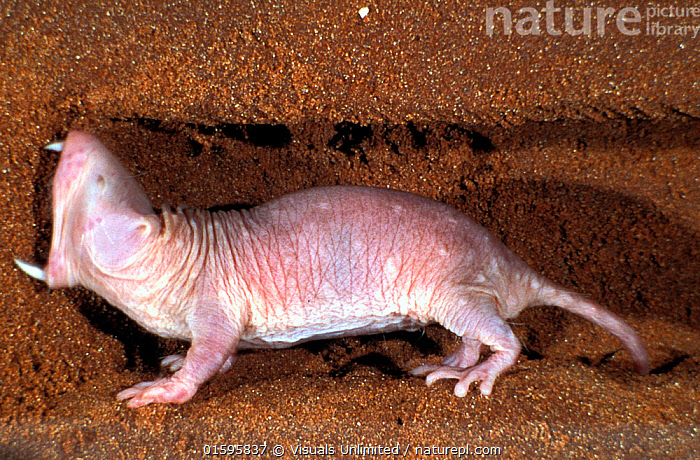 Nature Picture Library Naked mole rats (Heterocephalus glaber), digging  using teeth, captive. - Visuals Unlimited