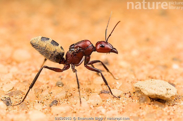 Namib Desert dune ant (Camponotus detritus), queen looking for a suitable place to start building a colony. Swakopmund, Dorob National Park, Namibia, Animal,Wildlife,Arthropod,Insect,Ant,Carpenter ant,Namib desert dune ant,Animalia,Animal,Wildlife,Hexapoda,Arthropod,Invertebrate,Hexapod,Arthropoda,Insecta,Insect,Hymenoptera,Formicidae,Ant,Camponotus,Carpenter ant,Camponotus detritus,Namib desert dune ant,Africa,Southern Africa,Namibia,South-West Africa,Desert,Namib Desert,Sands,Reserve,Protected area,National Park,Queen,Gyne,Namibian,Swakopmund,,, catalogue11, Emanuele Biggi