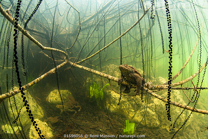 "Common toads (Bufo bufo) mating surrounded by strings of toadspawn. Ain, Alps, France. First prize in the  category ""The Underwater World, GDT European Wildlife Photographer of the Year 2014 competition  ,  Animal,Wildlife,Vertebrate,Frog,Toad,Common european toad,Animalia,Animal,Wildlife,Vertebrate,Amphibia,Anura,Frog,Bufonidae,Toad,Bufo,Bufo bufo,Common european toad,Europe,Western Europe,France,Animal Eggs,Egg,Eggs,Spawn,Spring,Freshwater,Underwater,Water,Animal Behaviour,Reproduction,Mating Behaviour,Copulation,Temperate,Alps,Behaviour,Competition winner,Toadspawn,Amphibian,Amplexus,Photography award,Behavioural,,, catalogue11  ,  Remi Masson"