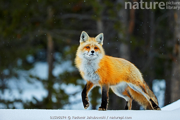 Red fox (Vulpes vulpes) in snow, Grand Teton National Park, Wyoming, USA, February., Animal,Wildlife,Vertebrate,Mammal,Carnivore,Canid,True fox,Red fox,American,Animalia,Animal,Wildlife,Vertebrate,Mammalia,Mammal,Carnivora,Carnivore,Canidae,Canid,Vulpes,True fox,Vulpini,Caninae,Vulpes vulpes,Red fox,Temperature,Cold,North America,USA,Western USA,Wyoming,Snow,Winter,Reserve,Protected area,National Park,Grand Teton National Park,American,United States of America,,, catalogue11, Radomir Jakubowski