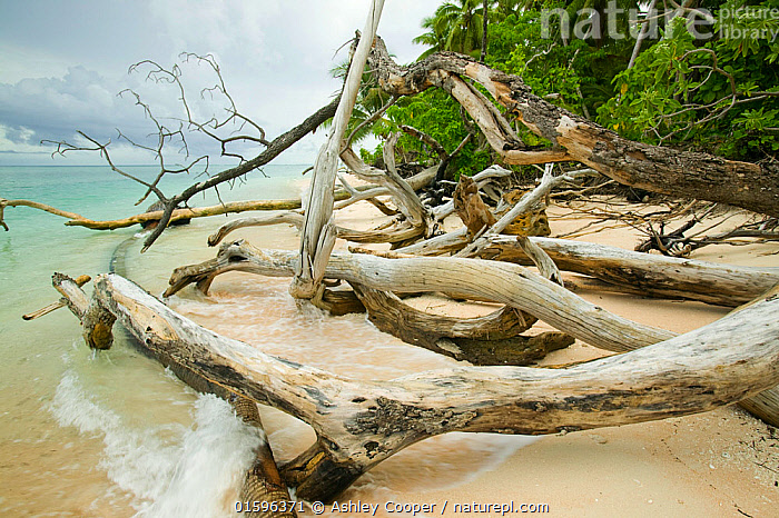 Trees fallen over because of undercutting coastal erosion caused by global warming induced sea level rise, Tepuka island off Funafuti atol in Tuvalu. March 2007  ,  coral,coral,reef,coral,atol,reef,sea,ocean,Pacific,Pacific,ocean,Tuvalu,Funafuti,Polynesian,polynesia,global,warming,climate,change,warming,temperature,heating,up,ocean,temperature,sea,level,sea,level,rise,tropical,tropics,tropical,paradise,warm,hot,environment,emmissions,Co2,carbon,dioxide,greenhouse,gas,atmosphere,climate,weather,island,endangered,threatened,vulnerable,fragile,hoses,housing,flood,flooding,flooded,inundated,salt,water,incursion,trees,plam,tree,coconut,palm,narrow,low,lying,sea,level,tides,tide,high,tide,flooded,inundated,low,lying,lagoon,sea,water,salt,water,tree,Tepuka,undercut,eroded,erosion,coastal,erosion,destroy,destruction,vulnerable,wave,action,beach,,,Oceania,Tuvalu,  ,  Ashley Cooper