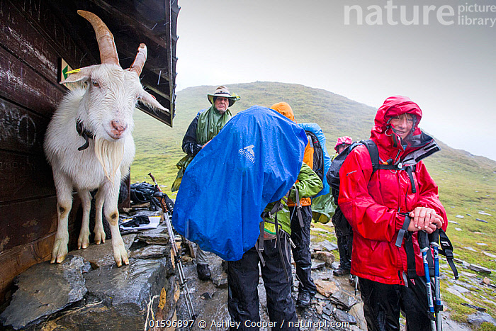 Walkers on the Tour Du Mont Blanc share shelter from heavy rain with a goat on the Col Du Bonhomme near Les Contamines, French Alps. France. August 2014, Tour du Mont Blanc,France Alps,French Alps,mountain,mountain range,weather,man,woman,group,walking group,trek,trekking,exercise,female,male,rucksack,footpath,long distance footpath,outdoors,gear,middle aged,fifties,sixties,50's,60's,fit,fitness,ascend,mountain walking,wet,rain,raining,waterproof,water proofs,torrential,shelter,sheltering,heavy rain,precipitation,Col du Bonhomme,goat,horns,animal,mountain goat,soaked,miserable,bedraggled,,,People,, Ashley Cooper
