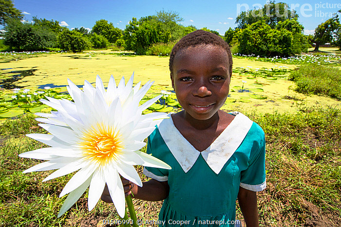A girl picking Water lillies growing on marshland in the Shire valley near Bangula, Malawi, March 2015.  ,  Malawi,Africa,Shire Valley,pond,green,flower,flowering,lilly,water lilly,stalk,floating,leaf,marsh,wetland,child,girl,school girl,school uniform,,,People,Plant,Flower,,, catalogue11  ,  Ashley Cooper